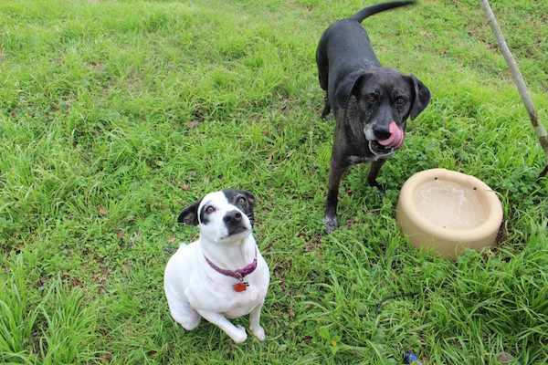 Mama Dog and Lefty love having clean, fresh water outside to drink. (Photo by Lisa Seger)