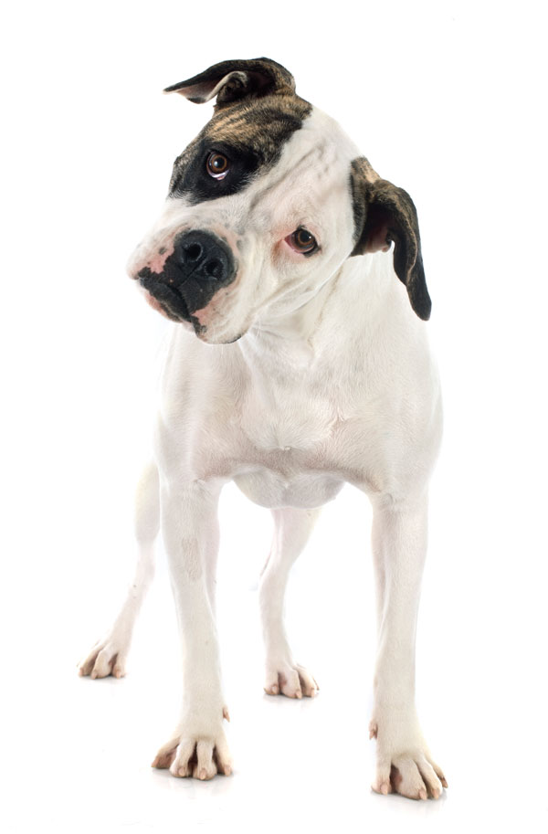 American Bulldog by Shutterstock.