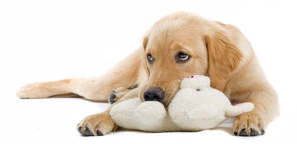 Does your dog hump their favorite toy? (Golden Retriever by Shutterstock)