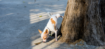 Chihuahua by Shutterstock