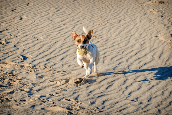 Dog running on a beach by Shutterstock.