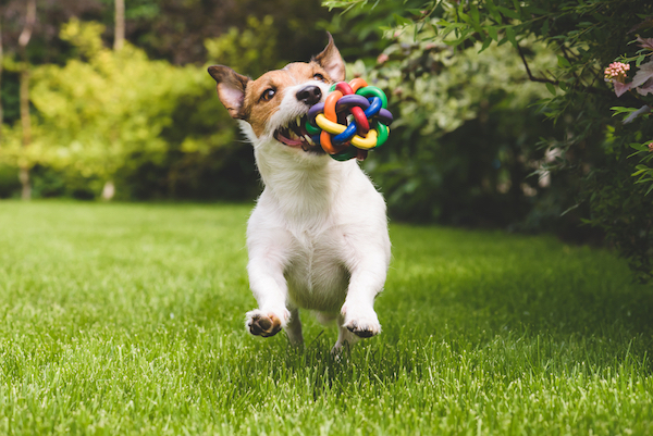 If you see your dog humping, distract them with their favorite toy or with a game. (Jack Russell Terrier by Shutterstock)