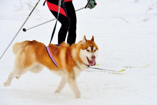 Skijoring by Shutterstock