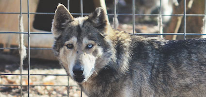 A wolfdog at Full Moon Farm. (Photo courtesy Meg McKinney and Gary Borland/Full Moon Farm)