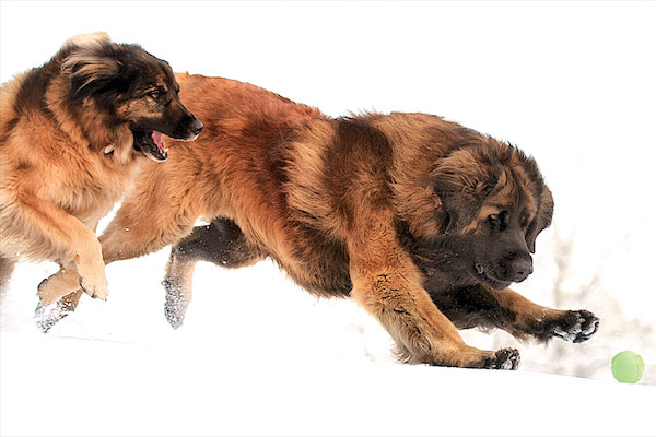 Leonberger courtesy Vic Neumann and the Leonberger Club of America.