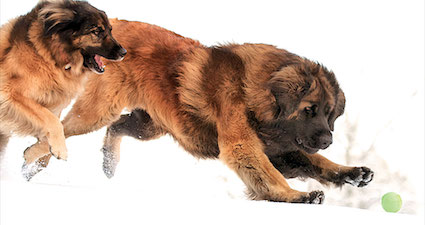 Leonberger courtesy Vic Neumann and the Leonberger Club of America