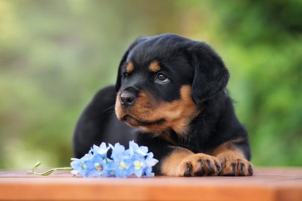 Rottweiler by Shutterstock