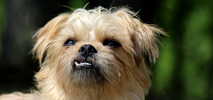 Canine Malocclusion Dogs With Underbites