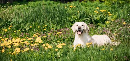 Labrador Retriever by Shutterstock