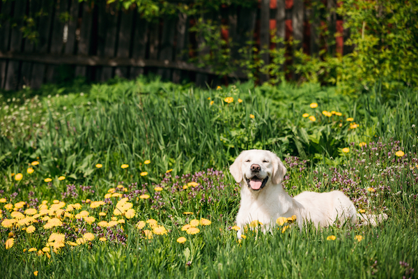 A Labrador Retriever in a field of flowers.