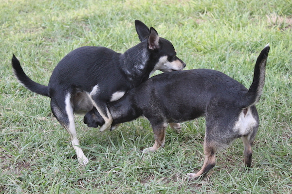 Two dogs humping.