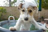 Jack Russell Terrier getting a bath by Shutterstock.