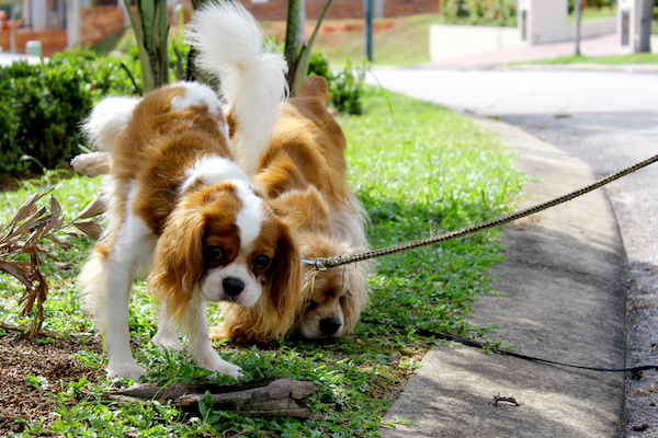 Teaching your dog a cue for when it is (and isn't) okay to stop and pee can make your walks go more smoothly. (Photo by Shutterstock)