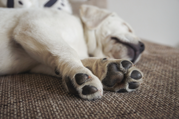 A sleeping puppy and his cute paws.