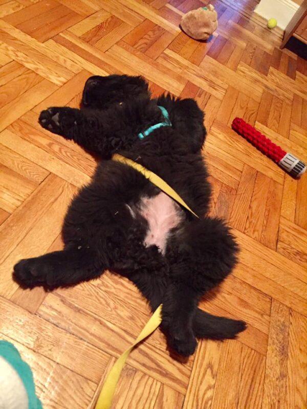Sirius is a big puppy. (Photo by Sassafras Lowrey)