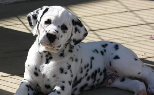 Dog Breeds That Change Dramatically As They Grow