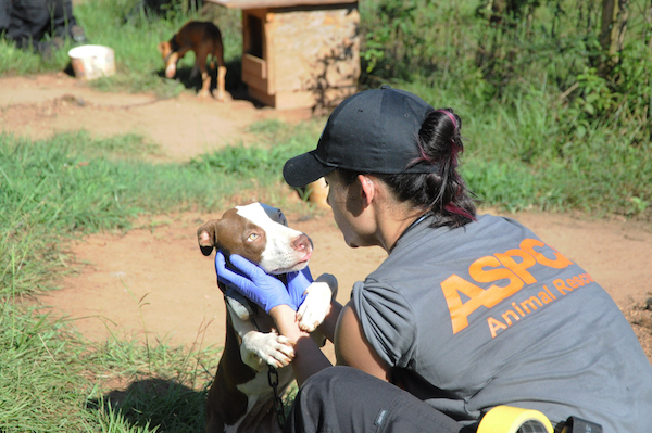 ASPCA raid of dog fighting ring. (Photo courtesy of ASPCA)