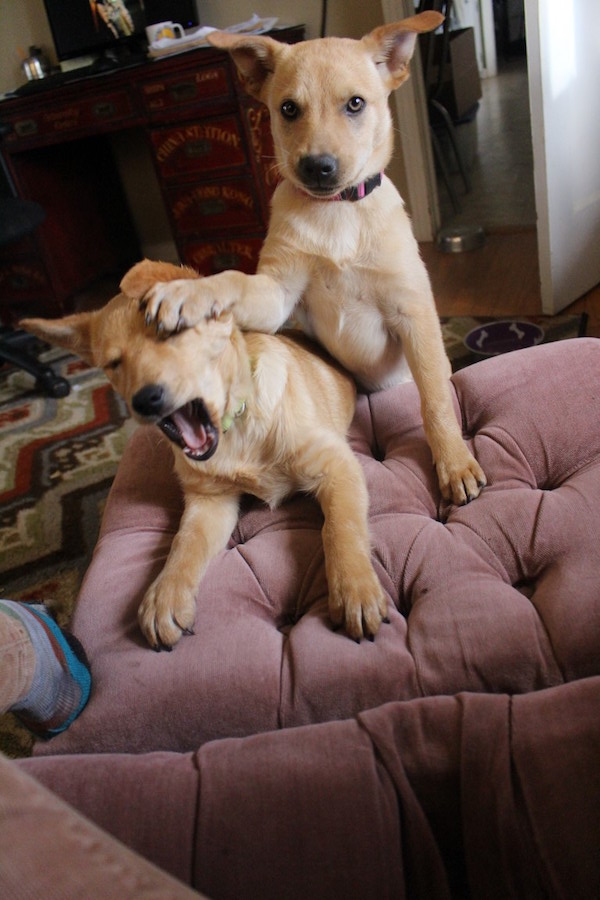 Two of our 2016 foster pups , Sydney and Sassy. (Photo by Lisa Seger)