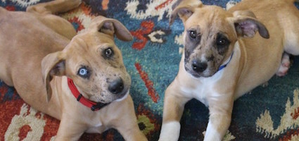Foster puppies