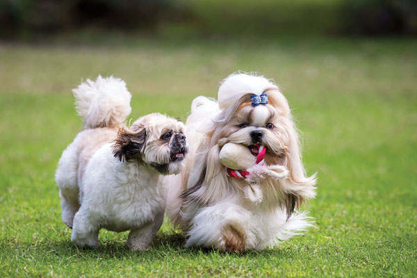 10 Things You Need To Know About The Shih Tzu Dog Breed