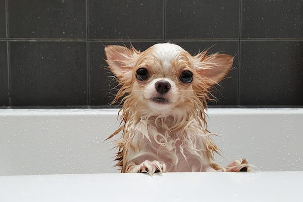 A chihuahua in a bathtub getting shampooed.