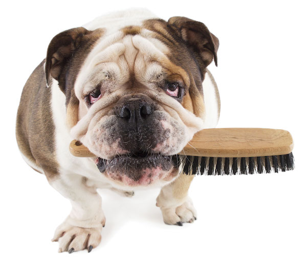 Bulldog with brush by Shutterstock.