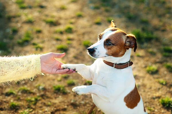 Dog shaking paw.