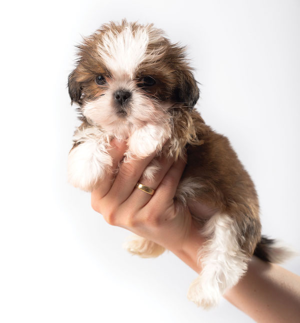 Shih Tzu by Shutterstock.