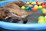 Dog cools off from summer heat in a pool full of tennis balls.