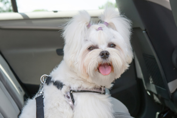 A dog riding in the backseat of a car in a harness. Photography by humonia/Thinkstock.