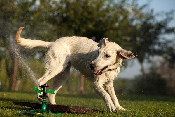 Dog chasing a sprinkler in the summer.