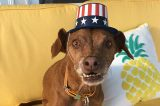 A dog in a patriotic red, white, and blue hat.