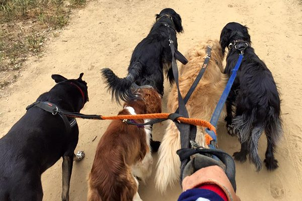 A few dogs out for a walk or hike.