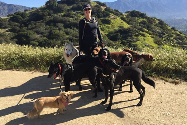 A dog sitter / dog walker with a group of dogs.