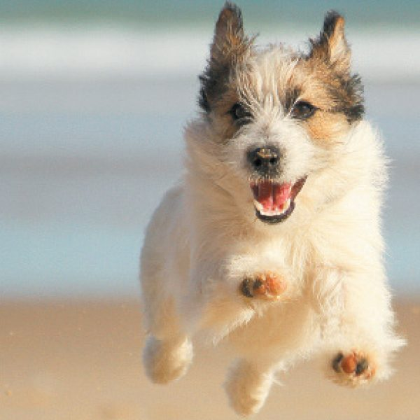 Dog jumping at beach.
