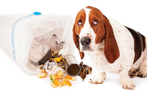A Basset Hound who has gotten into the garbage.