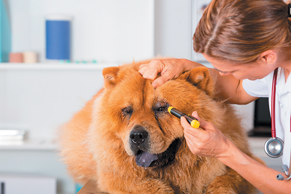 A dog getting his eyes examined by a vet.