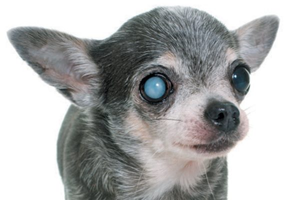 A dog with an eye issue.
