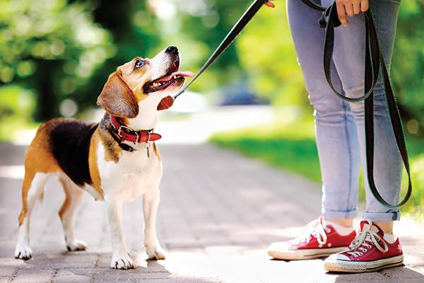 A beagle on a leash outside.
