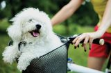 A Bichon Frisé enjoys a ride in a bike basket.