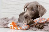 A brown puppy chewing on a toy.