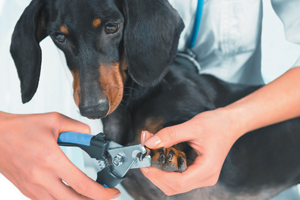 A dog getting his nails trimmed.