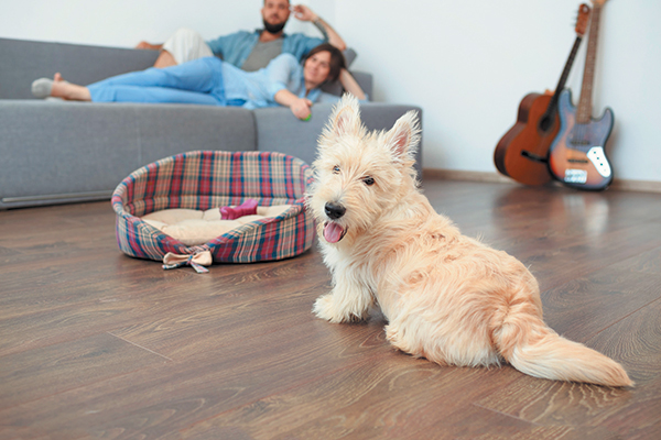A dog on a hardwood floor, near his dog bed.