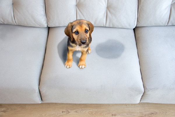 Dog peed on the couch.