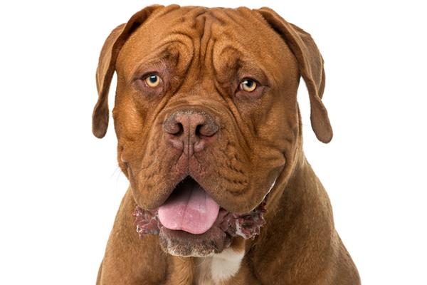 A Dogue de Boredeaux dog.