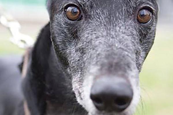 A close up of a black dog. Photography courtesy Hemopet.