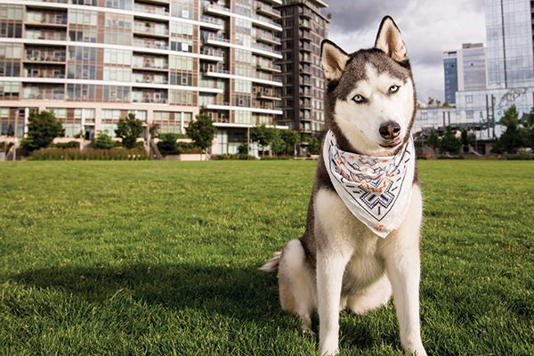 A Husky dog with Portland, Oregon as his backdrop.