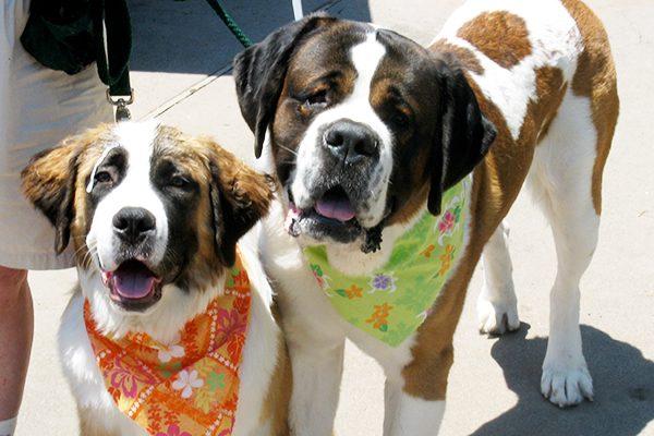 Saint Bernard dogs. Photography Courtesy Jann Hayes.
