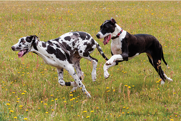 Training Great Dane Dogs