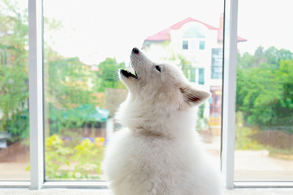 A white dog howling.